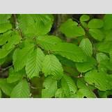 Black Birch Tree Identification | 350 x 262 jpeg 25kB