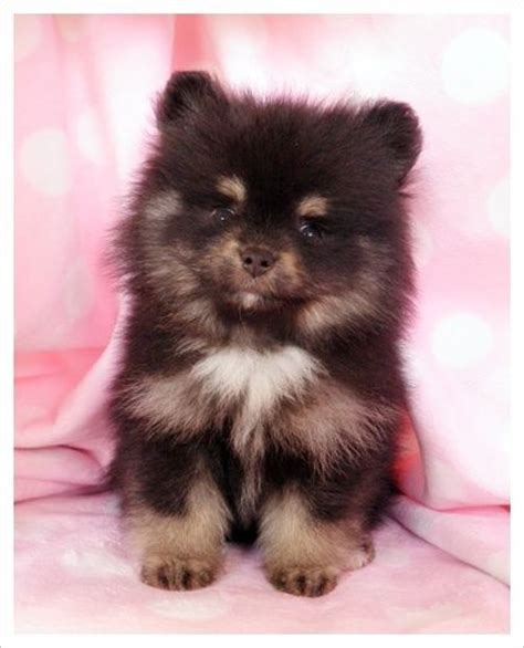 what colors do pomeranians come in 26 best images about pomeranian on poodles and i want