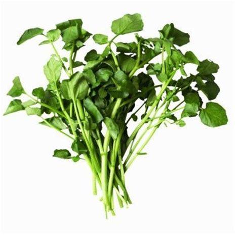 tanaman selada air watercress bibitbungacom