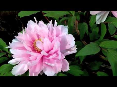 japanese tree peonies in winter hakozaki shrine flower garden youtube