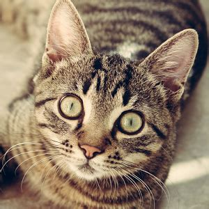 cat facts the pet parent s a to z home care encyclopedia books cat breeds identify your cat android apps on play