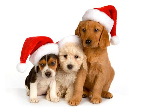 santa puppies santa hat animal stock photos kimballstock