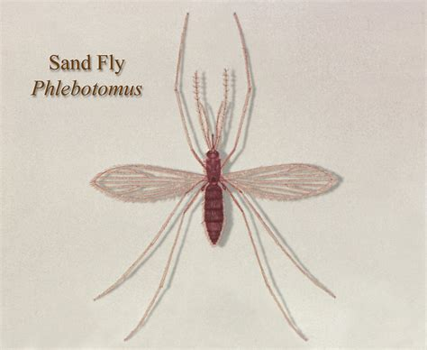 sand fliese sand fly www imgkid the image kid has it