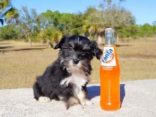 havanese puppies miami puppies for sale in florida buy teacup small breeds puppies in fl