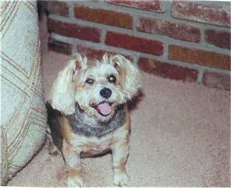 yorkie schnauzer mix information snorkie breed information and pictures