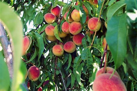 peach tree fertilizer   fertilize peach trees
