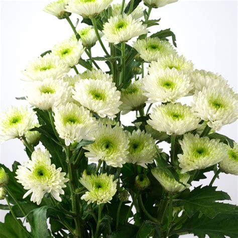 Vase For Plants Ball Chrysanthemum Mum Chrysanthemum Morifolium Pick
