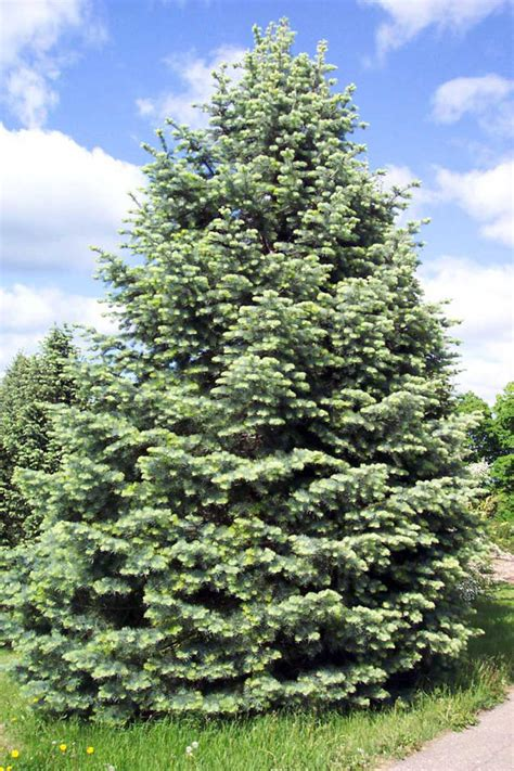 concolor smell like oranges christmas trees concolor fir white fir coniferous forest