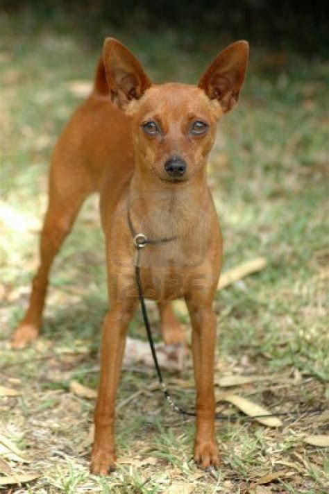 min pin puppy dogs miniature pinscher