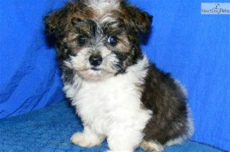 maltipoo puppies for sale in arkansas 1000 ideas about maltipoo puppies for sale on teacup maltipoo maltipoo