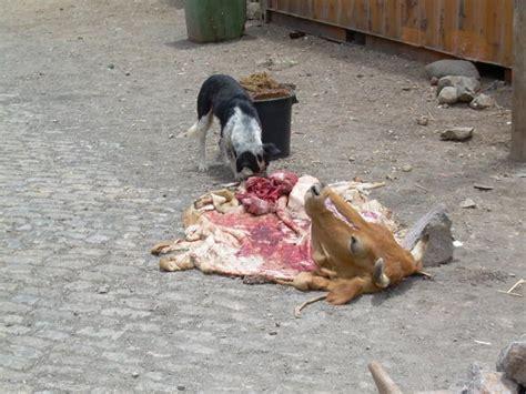 cow puppy vs cow photo