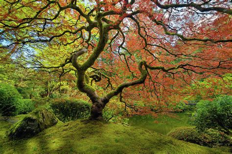 the japanese maple tree in photograph by david gn