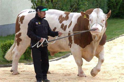 Jual Bibit Sapi Limosin Atau Simental 65 foto gambar sapi potong sapi limosin limousin simental metal dan brahman untuk