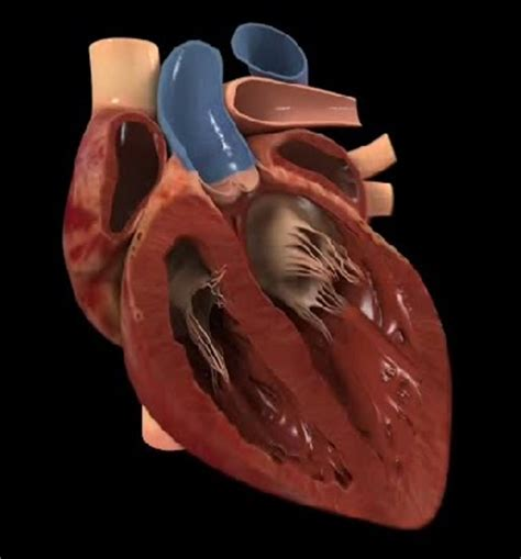 imagenes reales corazon humano tecnicos radiologos anatom 237 a del coraz 243 n