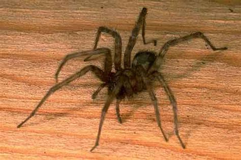 california house spiders royal alberta museum invertebrate zoology bug facts european house spider