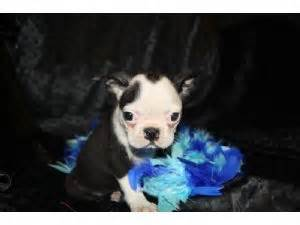 boston terrier puppies missouri boston terrier puppies in missouri