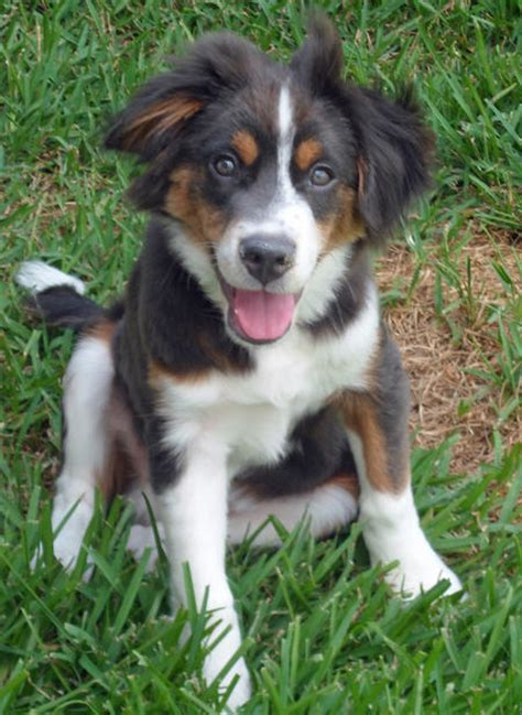 australian shepherd and yorkie mix puppies puppy names pictures of puppies more daily puppy