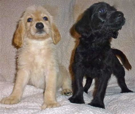 dogs and puppies for sale and adoption oodle marketplace pets for sale and adoption oodle marketplace html autos weblog