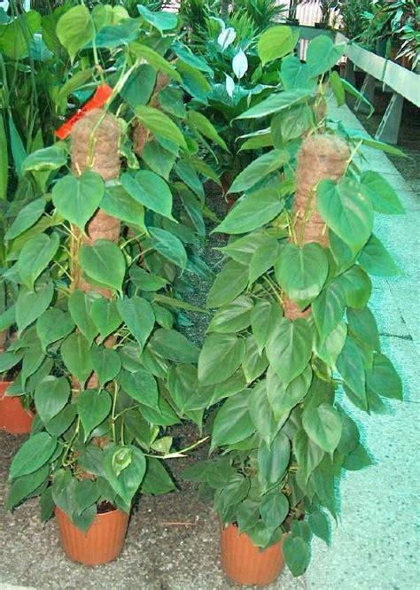 come curare piante da appartamento filodendro piante appartamento come curare il filodendro