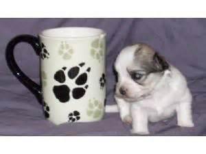 havanese puppies raleigh nc havanese puppies for sale