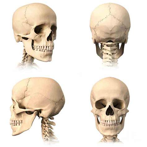 skull anatomy human skull useful notes on human skull general anatomy