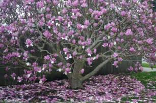 japanese magnolia trees pinterest