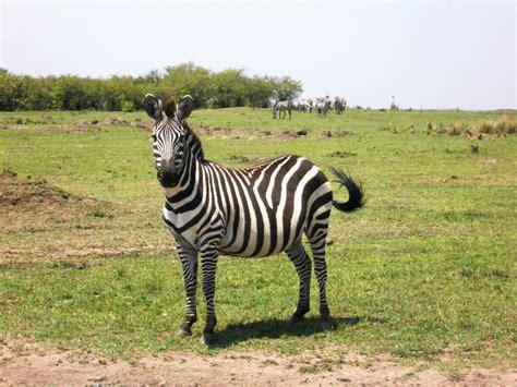 wallpaper garis zebra gambar zebra mewarnai anak cetak gratis mencetak download