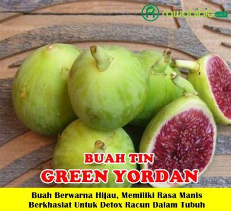 Bibit Buah Tin Green Yordan buah tin green yordan unggul jualbenihmurah