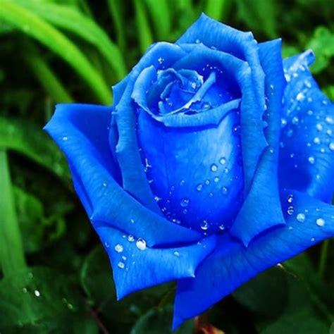 imagenes de rosas azules y negras significados de los colores de la flor