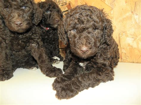 poodle puppy small standard poodle puppies aussiedoodle and labradoodle puppies best labradoodle