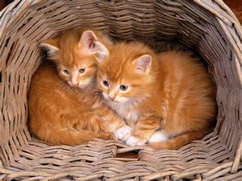 wallpaper of cat family free cat wallpapers for desktop wallpaper cave
