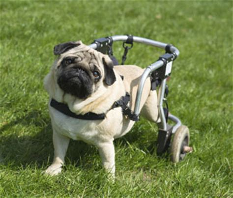 pug in a wheelchair why veterinarians feel compelled to take on the neediest pets