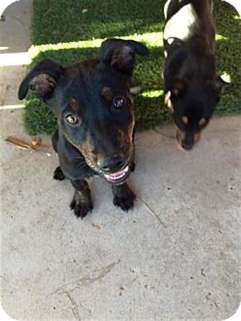 blue heeler rottweiler mix information michael phelps adopted puppy az blue heeler rottweiler mix