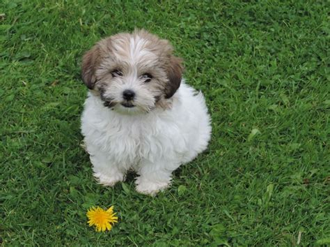 shih tzu bijon ready now shih tzu x bichon frise for sale leeds west pets4homes