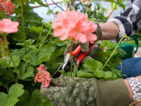 Dead Heading prune and deadhead your geraniums diy