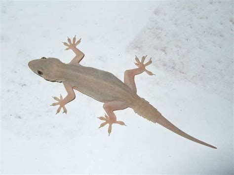 house lizard flat tailed house gecko cosymbotus platyurus nature cultural and travel