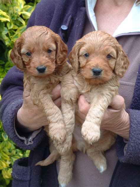 cockapoo puppies for sale in cockapoo puppies for sale kidderminster worcestershire pets4homes