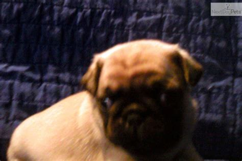 pug puppies for sale in st louis mo pug puppy for sale near st louis missouri 461b28e7 6011