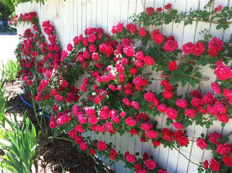 best climbing roses img 5316 300x224 blaze climbing rose in full bloom on corner fence