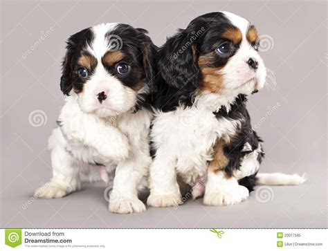 cavalier king charles spaniel puppies price cavalier king charles spaniel puppies royalty free stock photo image 23017585