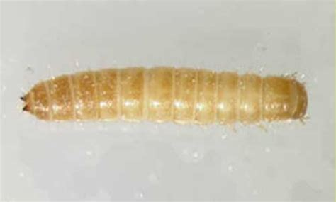 White Worms In Pantry by And Confused Flour Beetles Tribolium Spp