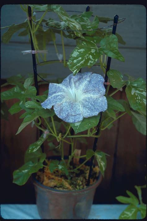 Morning Pharbitis Nil T1310 morning glories database large flowered strains