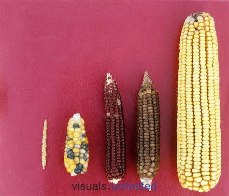 history of corn development visuals unlimited