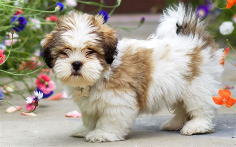 lhasa apso puppy lhasa apso puppies for sale the fancy puppy