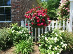 Patio Tree Rose Knockout Rose Tree At The House Patio Landscapes Pinterest