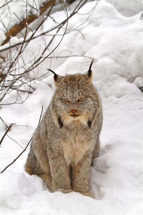 canadian snow lynx canada lynx wikipedia