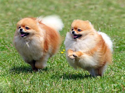 cani piccoli da appartamento cani nani da appartamento cani per appartamento piccola