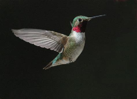 joe prentice hummingbird season is at its height in