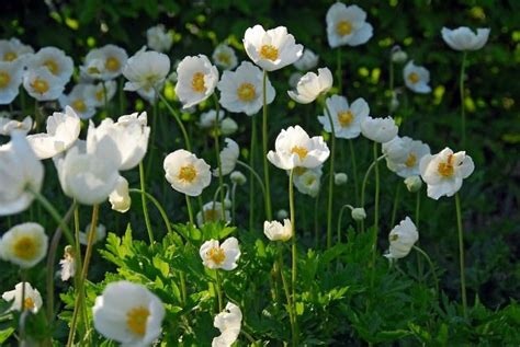 Planting A Garden In The Fall - anemone coronaria the bride