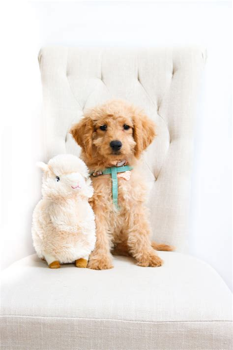 goldendoodle puppy mill rescue mini goldendoodle puppy